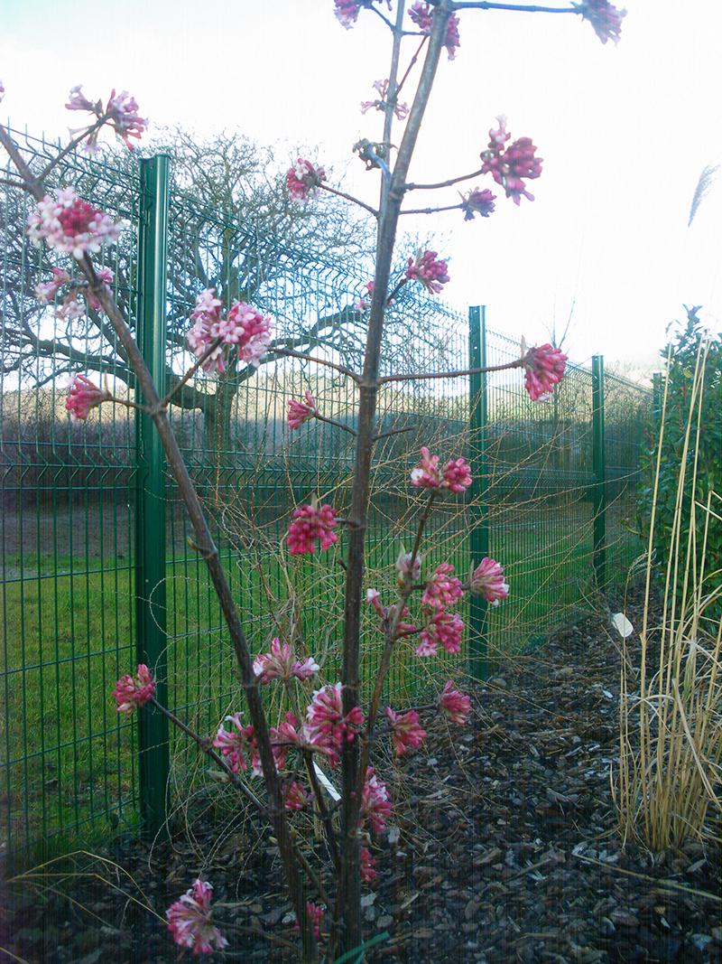 floraison-hivernale